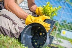 Trädgårdsmästare Planting Small Tree Arkivfoton