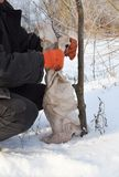 Trädgårdsmästare Protecting Fruit Trees från djur skada Skyddande fruktträd i vinter Fotografering för Bildbyråer