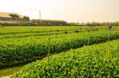 Trädgårdsmästare samlar grönsaker i trädgården av Thailand Arkivbild