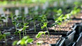 Trädgårdsmästare som arbetar på växthuset arkivfilmer
