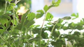 Trädgårdsmästare som arbetar på växthuset stock video