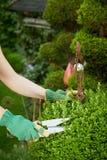 Trädgårdsmästare som beskär en topiary i en formell boxtreeträdgård Royaltyfria Foton