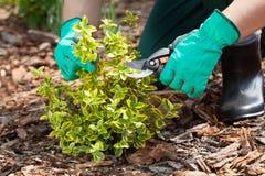 Trädgårdsmästare som beskär en växt arkivbilder