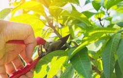 trädgårdsmästare som beskär träd med att beskära sax Royaltyfria Foton