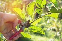 trädgårdsmästare som beskär träd med att beskära sax Arkivfoton