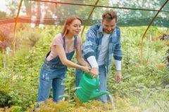 Trädgårdsmästare som bevattnar växter i drivhus Arkivbilder