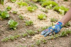 Trädgårdsmästare som fördelar en sugrörkomposttäckning runt om växter arkivbild