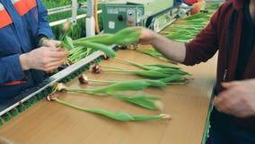 Trädgårdsmästare som förlägger tulpanblommor på en modern transportör för att klippa kulor lager videofilmer