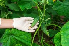 Trädgårdsmästare som kontrollerar växter Royaltyfria Bilder