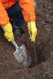 trädgårdsmästare som planterar treen Fotografering för Bildbyråer