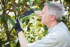 Trädgårdsmästare som tänker för att beskära ett träd royaltyfri fotografi