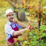 Trädgårdsmästare som upp väljer frukt Royaltyfria Bilder