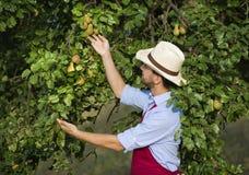 Trädgårdsmästare som upp väljer frukt Arkivfoto