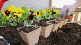 Trädgårdsmästarehänder som planterar blommor i kruka med smuts eller jord arbeta i trädgården för begrepp arkivfilmer