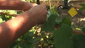 Trädgårdsmästaren binder upp gurkaväxten lager videofilmer