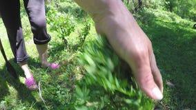 Trädgårdsmästaren gräver en buske av dasiphorafruticosa för lös växt stock video