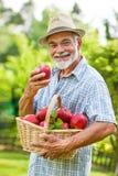 Trädgårdsmästaren rymmer en korg av mogna äpplen Arkivbild