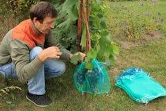 Trädgårdsmästaren sitter, och räkningar slösar druvagrupper i skyddande påsar t Arkivfoto