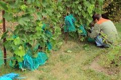 Trädgårdsmästaren sitter, och räkningar slösar druvagrupper i skyddande påsar t Royaltyfri Bild