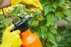 Trädgårdsmästaren som applicerar från bladlussidor och insekticidgödningsmedel för att bära frukt och, skyddar från svamp royaltyfri fotografi