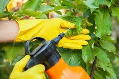 Trädgårdsmästaren som applicerar från bladlussidor och insekticidgödningsmedel för att bära frukt och, skyddar från svamp royaltyfria foton