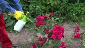 Trädgårdsmästaren som besprutar den rosa busken, slår ut med insekticid stock video