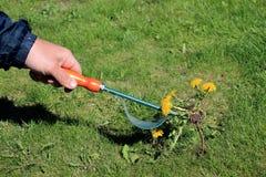 Trädgårdsmästaren tar manuellt bort ogräs på gräsmatta med rotar borttagningsmedelhjälpmedlet Royaltyfria Foton