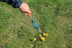 Trädgårdsmästaren tar manuellt bort ogräs på gräsmatta med rotar borttagningsmedelhjälpmedlet Royaltyfri Foto