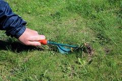 Trädgårdsmästaren tar manuellt bort ogräs på gräsmatta med rotar borttagningsmedelhjälpmedlet Arkivbilder