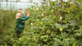 Trädgårdsmästareomsorg för rosor stock video