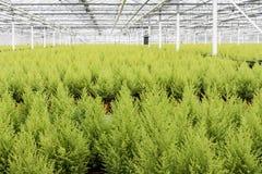 Trädgårdsnäring med cypresses i ett växthus royaltyfri fotografi