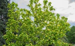 Trädgårdträd med stora gula blommor arkivbilder