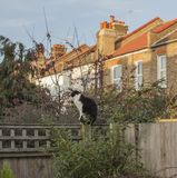 Trädgårdträdgård, London - en vit och svart katt fotografering för bildbyråer