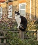 Trädgårdträdgård, London, England - en vit och svart katt på en solnedgång royaltyfri bild