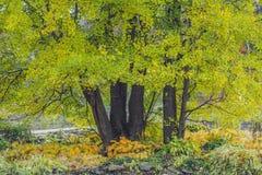 Trädginkgoen i höst, gula sidor faller Royaltyfri Fotografi