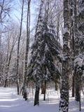 Trädgranfrysningar i vintersolen Royaltyfri Fotografi