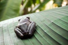 Trädgroda på bananbladet Arkivfoton