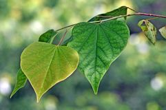 TrädID: Östligt Redbud trädblad fotografering för bildbyråer