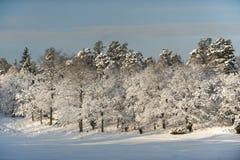 Trädkant i vintersolen Royaltyfri Foto