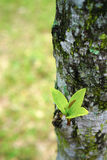 Trädknopp Arkivfoto