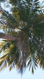 Trädkokospalm arkivfoto