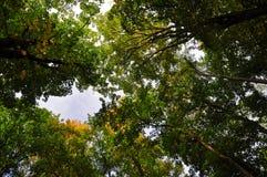 Trädkronor Royaltyfri Bild