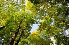 Trädkronor Arkivbild