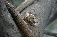 trädnäbbmus Royaltyfri Foto