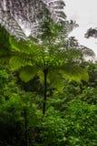 Trädormbunke i regnskog Arkivfoton