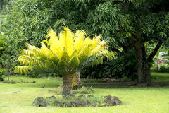 Trädormbunke i trädgård Arkivbild