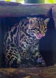 TrädozelotLeopardus wiedii royaltyfri foto