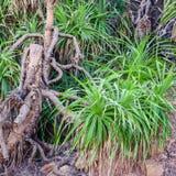 Trädpandanus i den naturliga miljön, Indien, Arkivfoton