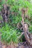 Trädpandanus i den naturliga miljön, Indien, closeup Arkivfoton