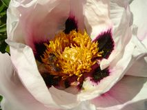 Trädpion i blommaslut upp Rosa växa för pionblommor i trädgården, blom- bakgrund Blomma för bi på våren Fotografering för Bildbyråer
